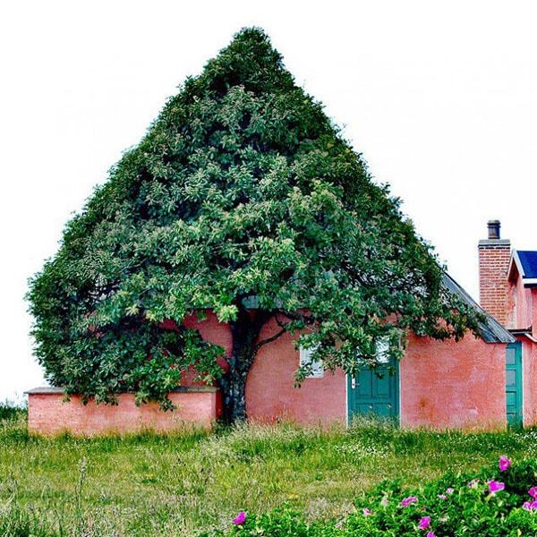 Hình ảnh tuyệt đẹp về một cây đại thụlớn lên xuôi theo ngôi nhà