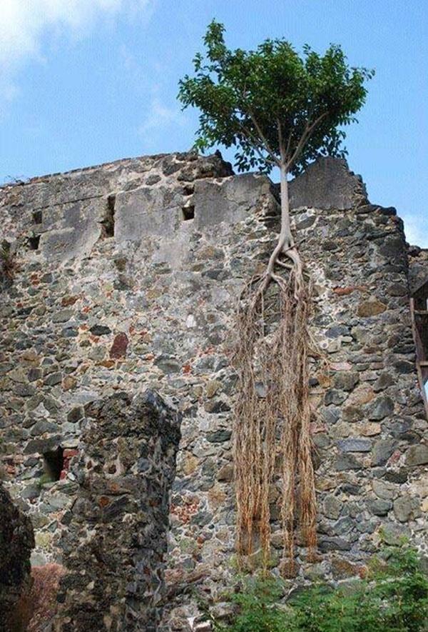 Rễ dài bám đất - sức sống mạnh mẽ của thiên nhiên