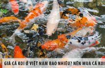 Giá cá koi ở Việt Nam bao nhiêu? Nên mua cá koi ở đâu?