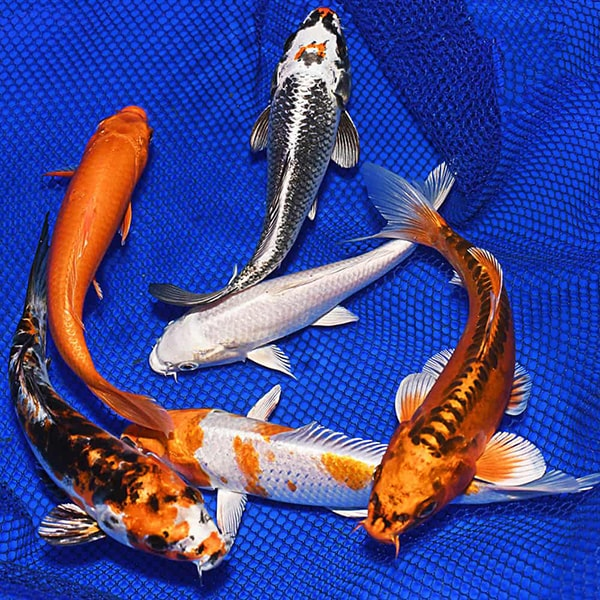 Những yếu tố ảnh hưởng đến giá thành cá koi