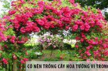 Có nên trồng cây Hoa Tường Vi trong nhà?